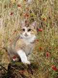 Domestic Cat  Tabby-Tortoiseshell Kitten Among Cocksfoot Grass  Horsetails and Rose Hips
