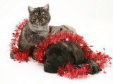 Smoke Exotic Kitten with Brindle English Mastiff Puppy Wrapped with Christmas Tinsel