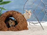 Gerbils at Play