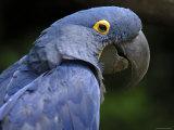 Hyacinth Macaw  Head Profile