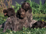 Korthal's Griffon / Wirehaired Pointing Griffon Puppies Resting / Playing in Grass