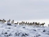 Pronghorn Antelope  Herd in Snow  Southwestern Wyoming  USA
