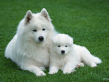 Samoyed with 6 Weeks Old Puppy