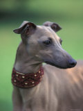 Fawn Whippet Wearing a Collar  Lookig Away