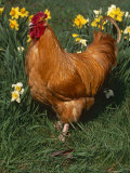 Domestic Chicken  Amongst Daffodils  USA