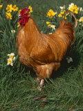 Domestic Chicken  Amongst Daffodils  USA