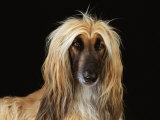 Afghan Hound Dog