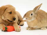 Yellow Labrador Retriever Puppy with Squeaky Toy-Carrot and Young Sandy Lop Rabbit