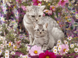Domestic Cat  British Shorthaired Silver Spotted Tabby with Her 8-Week Kitten Among Flowers