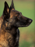 Belgian Malinois / Shepherd Dog Profile Portrait