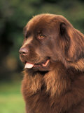 Brown Newfoundland Portrait
