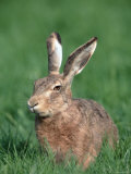 European Hare