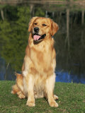 Domestic Dog Sitting Portrait  Golden Retriever (Canis Familiaris) Illinois  USA