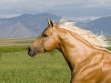 Palomino Quarter Horse Stallion  Head Profile  Longmont  Colorado  USA