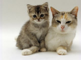 Domestic Cat  Silver Tortoiseshell-And-White Mother with Her 8-Week Tabby Kitten