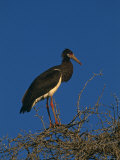 Abdims Stork  at Top of Tree  Kgalagadi Transfrontier Park  South Africa