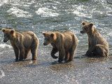 Three Grizzly Bear  Cubs (2-Year) Salmon Brooks River  Katmai National Park  Alaska  USA