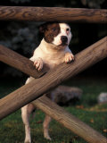 Staffordshire Bull Terrier Looking Through Fence