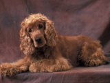 English Cocker Spaniel Lying Down with Head Tilted to One Side