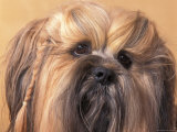 Lhasa Apso Face Portrait with Hair Plaited