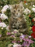 10-Week  Long Haired Tabby Kitten 'Powder Puff' Among Hosta  Verbena  Aphrodite  Argyranthemum