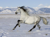 Gray Andalusian Stallion  Cantering in Snow  Longmont  Colorado  USA