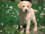 Young Labrador Retriever Portrait