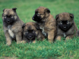 Domestic Dogs  Belgian Malinois / Shepherd Dog Puppies Sitting / Lying Together