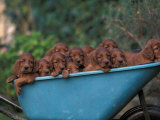Domestic Dogs  a Wheelbarrow Full of Irish / Red Setter Puppies