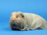 Sheltie Guinea Pig