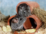 Long-Tailed Chinchillas at Play