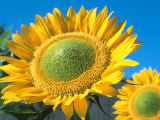 Sunflowers 'Sunbeam'