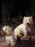 Domestic Dogs  Two West Highland Terriers / Westies  One Sitting on a Chair