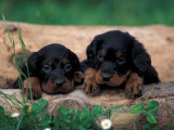 Domestic Dogs  Two Gordon Setter Puppies Resting on Log