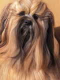 Lhasa Apso Portrait with Hair Plaited