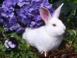 Domestic New Zealand Rabbit  Amongst Hydrangea  USA