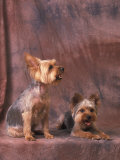 Studio Portraits of Two Yorkshire Terriers  One Lying Down and the Other Sitting up and Looking Up