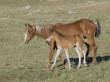 Sorrel Mare with Chestnut Filly  Pryor Mountains  Montana  USA