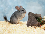 Long-Tailed Chinchilla at Play