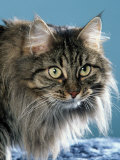 Head of Norwegian Forest Cat