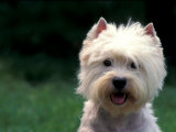 West Highland Terrier / Westie Panting