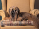 Lhasa Apso Sitting on Armchair