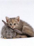 Domestic Cat  Silver Tortoiseshell Kitten with Silver Dwarf Lop Eared Rabbit