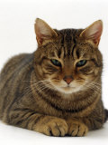 Domestic Cat  Striped Tabby Male