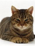 Domestic Cat  Striped Tabby Male