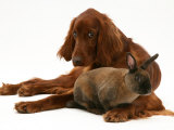 Irish Setter with Dwarf Rex Rabbit