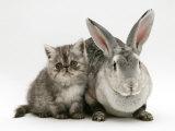 Silver Exotic Kitten  9-Week with Silver Rex Doe Rabbit