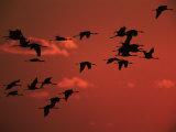 Common Crane  Flock Flying  Silhouettes at Sunset  Pusztaszer  Hungary