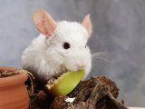White Long-Tailed Chinchilla Feeding