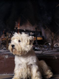 West Highland Terrier / Westie Sitting in Front of a Fireplace